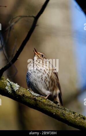 a singing thrush on a branch in a forest against blurred background - Stock Photo