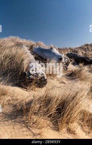 California coastal dune covered in sea grass and beached driftwood
