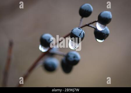 Close-up of Wild Privet  (Ligustrum vulgare) shrub berries with no leaves and droplets of rain on it - Stock Photo