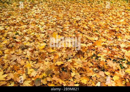 Carpet of dead leaves covering the ground in autumn