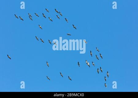 Large migrating flock of common cranes / Eurasian crane (Grus grus) flying / thermal soaring against blue sky during migration - Stock Photo