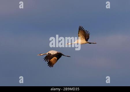 Two migrating common cranes / Eurasian crane (Grus grus) flying against dark cloudy sky during migration - Stock Photo