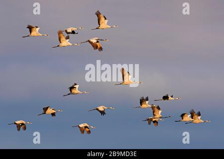 Migrating flock of common cranes / Eurasian crane (Grus grus) flying against dark cloudy sky during migration - Stock Photo