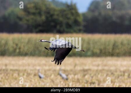 Common crane / Eurasian crane (Grus grus) flying over harvested wheat field / cornfield in autumn / fall - Stock Photo