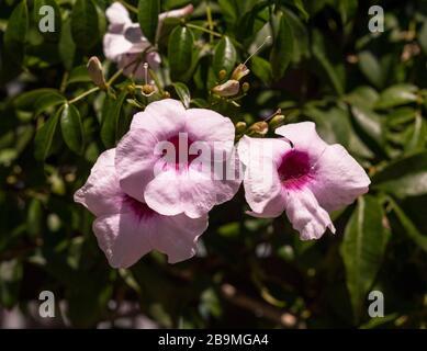 Pandorea jasminoides Stock Photo