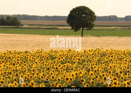 beautiful rural landscape with sunflowers, grain, potatoes and a tree in the middle in summer - Stock Photo