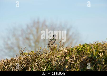An adult starling, Sturnus vulgaris, in late March perched on a hedge on the edge of agricultural land. Dorset England UK GB - Stock Photo