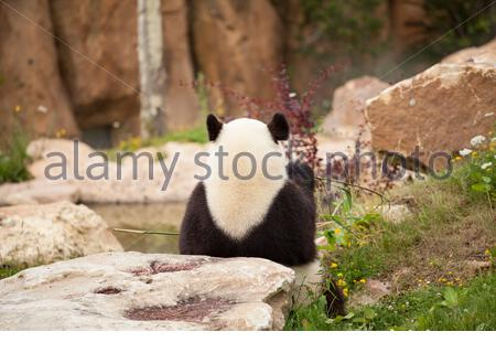 giant panda sitting from behind eating bamboo shoots in a zoo - Stock Photo