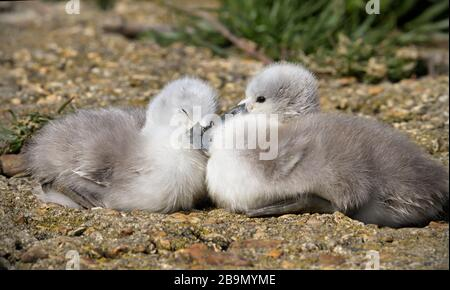 Pair Of Mute Swan, Cygnus Olor, Cygnets Sitting Side By Side With One Awake And One Asleep. Taken at Stanpit Marsh UK Stock Photo
