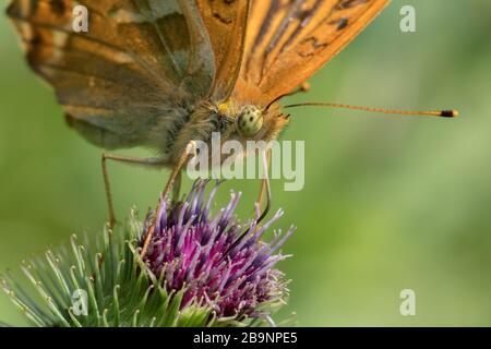 Silver-washed fritillary (Argynnis paphia) butterfly resting on a thistle - Stock Photo