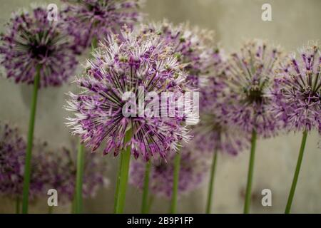Close up of a group of purple Allium rosenbachianum growing in the Alpine House at Kew Gardens. Spherical umbels of tiny purple flowers.