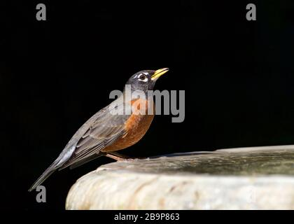 one American Robin perched on a bird bath, drinking water. The American robin (Turdus migratorius) is a migratory songbird of the thrush family.