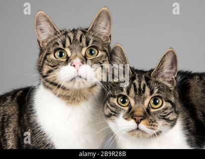 Domestic cats in the UK