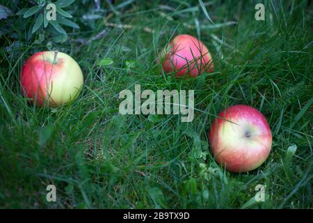 Red apples fallen from a tree - Stock Photo