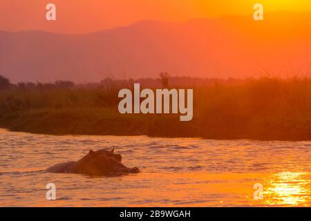 A Hippopotamus seen in the Zambezi River at sunset, Mana Pools National Park, Zimbabwe. - Stock Photo