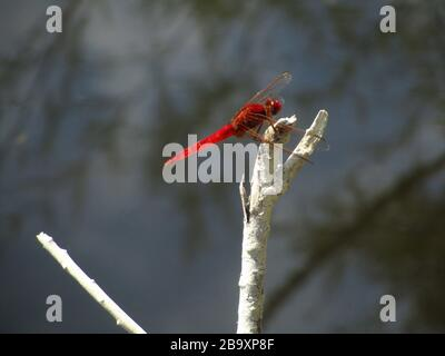 Closeup of a Scarlet dragonfly on a tree branch under the sunlight with a blurry background - Stock Photo