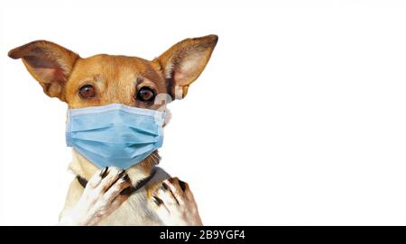 Jack Russel with Face Mask - Stock Photo
