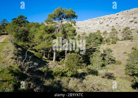 Austrian Pine (Pinus nigra salzmannii). Els Ports Natural Park. Catalonia. Spain. - Stock Photo