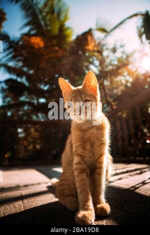 Portrait of an orange wild cat in the jungle setting during the sunset - Stock Photo