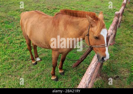 Horse, Seopjikoji Cape, Jeju Island, South Korea, Asia - Stock Photo