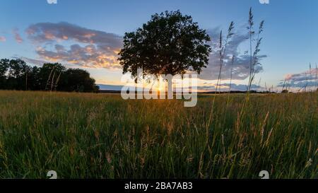 Summer panorama, beautiful sunset under a single tree in the Lüneburg Heath, Northern Germany.