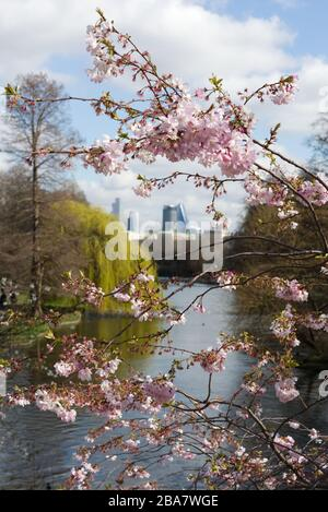 cherry blossom tree with the City of London in the background. - Stock Photo