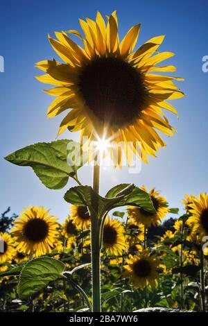 Sunflowers backlit in full sun, Plateau de Valensole, Provence, France - Stock Photo