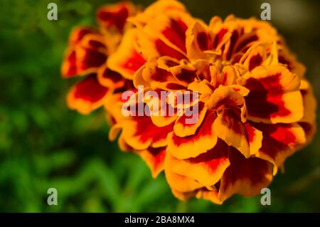 Orange marigold flower on blurred green background. Tagetes patula. Macro. Close-up. Soft focus. Selected focus.