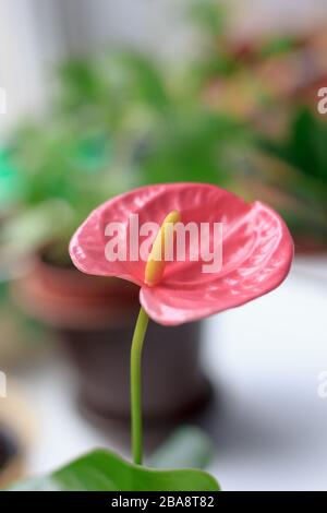 Close up view of beautiful anthurium flower. - Stock Photo