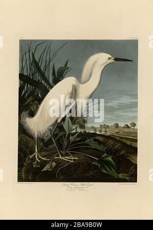 Plate 242 Snowy Heron or White Egret from The Birds of America folio (1827–1839) by John James Audubon - Very high resolution and quality edited image - Stock Photo