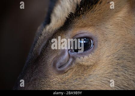 Close up detail of the eye of a muntjac and its ocular scent gland - Stock Photo