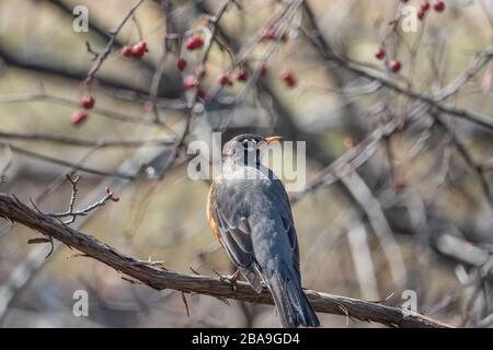 American Robin on Branch in Springtime