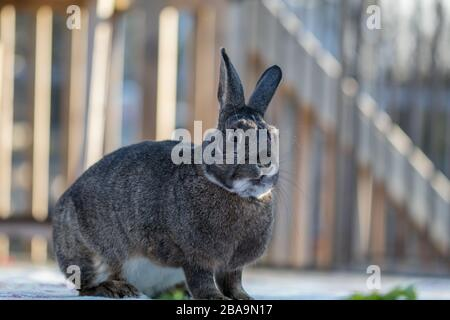 Gray and white bunny rabbit standing on deck in soft muted light - Stock Photo