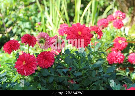 Close up of a group of Maxi Tampico Dahlia flowers in a garden in Raleigh, North Carolina, USA - Stock Photo