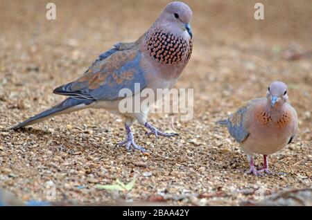 A pair of laughing doves in mating stance - Stock Photo
