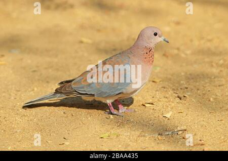 A laughing dove on sandy ground, Namibia - Stock Photo