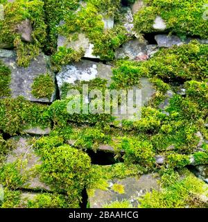 An image of part of an old, slightly tumbledown dry stone wall covered in moss. - Stock Photo