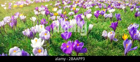 Panoramic view to spring flowers in the park - Stock Photo
