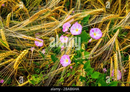 Morning Glory bindweed flowers in barley field, Baden Wurttemberg, Germany - Stock Photo