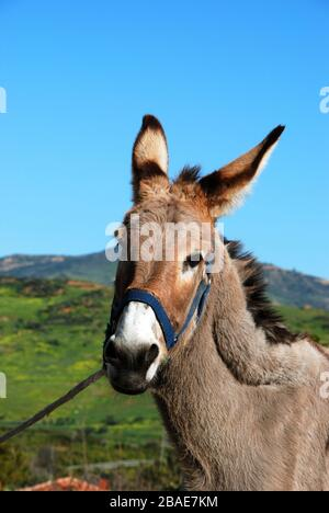 Tethered Donkey, Near Alora, Malaga Province, Andalucia, Spain, Europe. - Stock Photo