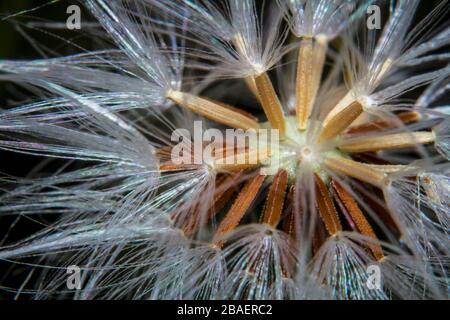 Macro shot closeup beautiful dandelion flower seeds - Stock Photo