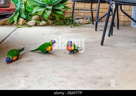 Rainbow lorikeet, a species of parrot found in Australia