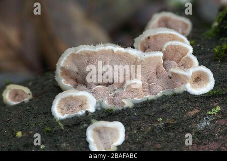 Gloeoporus dichrous, known as  Gelatinous-pored Polypore or Bicoloured Bracket, wild fungus from Finland - Stock Photo