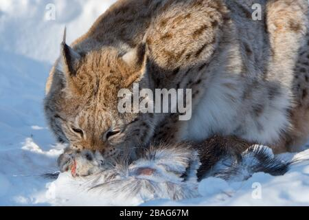 A Eurasian lynx (Lynx lynx) is feeding on the remains of a moose in the snow at a wildlife park in northern Norway. - Stock Photo