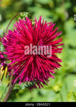 Dahlia in Butchart Gardens, Victoria, British Columbia, Canada. - Stock Photo