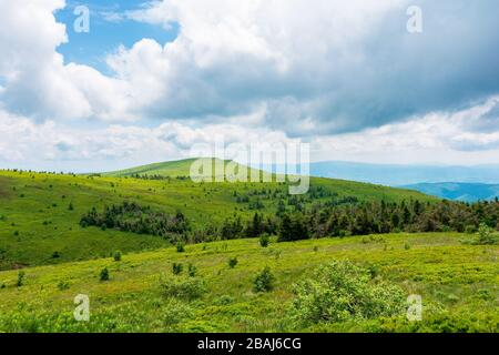 alpine meadows of mnt. runa, ukraine. coniferous forest in the distance. beautiful nature scenery of carpathian mountains in summer. cloudy weather