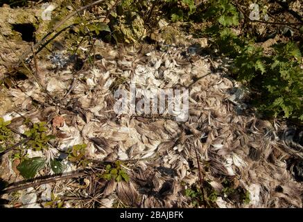Remnants of wildlife conservation (deer culling) on agrarian farmland in Britain, England, United Kingdom, Europe - Stock Photo