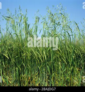 Wild oats (Avena fatua) annual arable grass weed flowering spikes in barley crop in green ear - Stock Photo