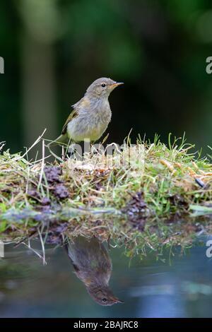 Juvenile Chiffchaff [Phylloscopus collybita ] on reflection pool - Stock Photo