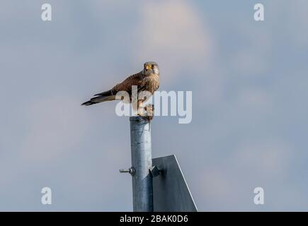 Male common kestrel, Falco tinnunculus, perched on post, eating recently-caught vole. Stock Photo